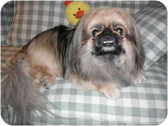 Pekingese/Pekingese Mix Dog for adoption in Mesa, Arizona - Peek-A-Boo