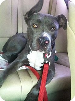 American Staffordshire Terrier/Mastiff Mix Dog for adoption in Sun Valley, California - PEACHES