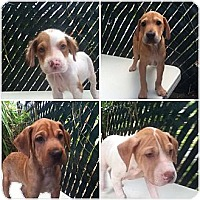 Adopt A Pet :: Sharpei/Lab/Spaniel Puppies - Honolulu, HI
