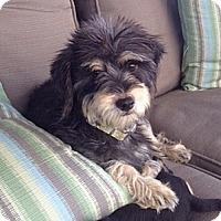 Adopt A Pet :: Sydney - La Habra Heights, CA
