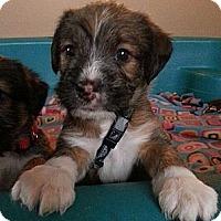 Adopt A Pet :: Sailor - Russellville, KY