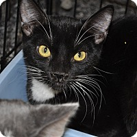 Domestic Shorthair Cat for adoption in La Canada Flintridge, California - Tuxie
