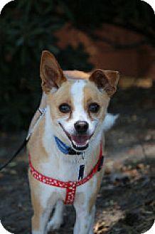 Basenji/Chihuahua Mix Dog for adoption in Fountain Valley, California - Buddy