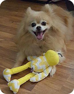 Pomeranian Dog for adoption in Delaware, Ohio - Archie