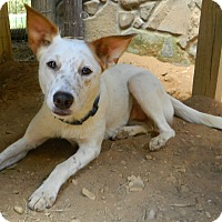Border Collie/Cattle Dog Mix Dog for adoption in Albany, New York - Suzy Q