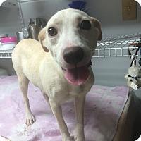 Adopt A Pet :: Lulu - St. Louis, MO