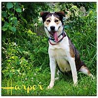 Adopt A Pet :: Harper  **SPONSORED** - Clarksville, TN