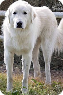 Great Pyrenees Dog for adoption in Pryor, Oklahoma - Charlie