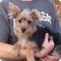 Yorkie, Yorkshire Terrier Puppy for adoption in Rochester, New York - Lester
