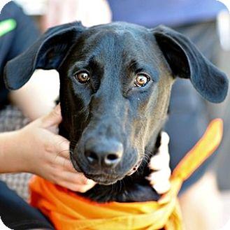 Labrador Retriever/Pomeranian Mix Dog for adoption in Sunnyvale, California - Duke