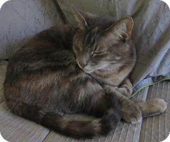 Domestic Shorthair Cat for adoption in San Antonio, Texas - Abbie