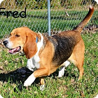 Adopt A Pet :: Fred - DuQuoin, IL