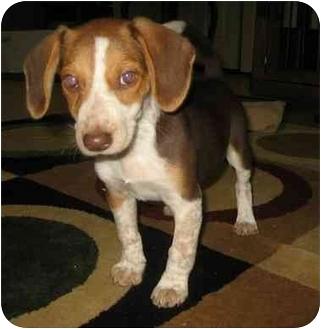Beagle/Blue Heeler Mix Puppy for adoption in Fenton, Missouri - SAR