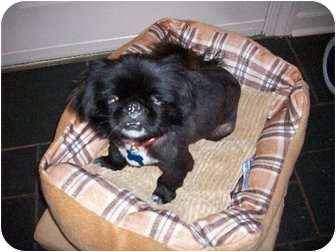Pekingese Dog for adoption in Richmond, Virginia - Jasper