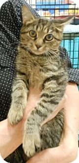 Domestic Shorthair Cat for adoption in Reston, Virginia - Mona