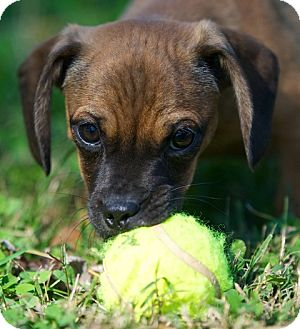 Pug/Dachshund Mix Puppy for adoption in Providence, Rhode Island - Cookie