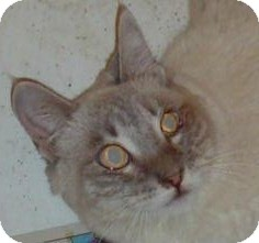 Siamese Cat for adoption in North Highlands, California - Calista