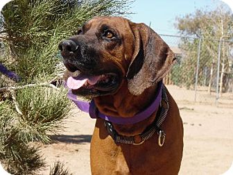 Redbone Coonhound Mix Dog for adoption in Apple Valley, California - Chester