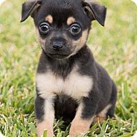 Adopt A Pet :: Harry - La Habra Heights, CA