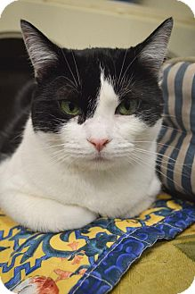 Domestic Shorthair Cat for adoption in Bloomingdale, Illinois - Jessa