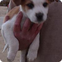 Adopt A Pet :: HOLIDAY PUPS E - Corona, CA