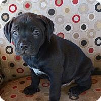 Adopt A Pet :: DAISY DUKE - Rancho Cucamonga, CA