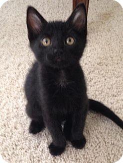 Domestic Mediumhair Cat for adoption in St. Cloud, Florida - Lu Lu