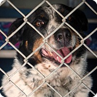 Australian Cattle Dog Mix Dog for adoption in Oxford, North Carolina - Annie