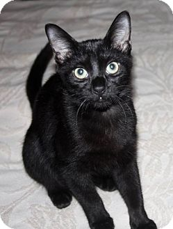 Domestic Shorthair Kitten for adoption in Saint Augustine, Florida - Lincoln