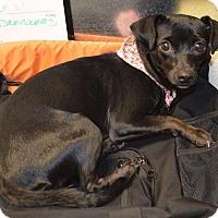 Adopt A Pet :: Princess Nola - Phoenxville, PA