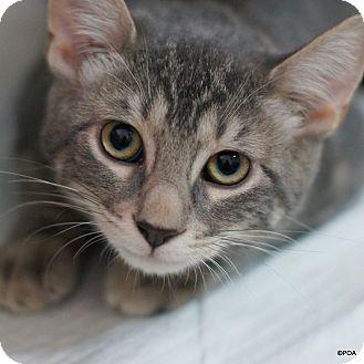 Domestic Shorthair Kitten for adoption in East Hartford, Connecticut - Slater