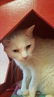 Domestic Shorthair Cat for adoption in yuba city, California - Simon