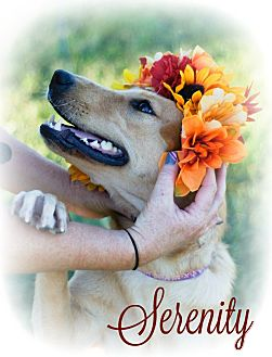 Golden Retriever Mix Dog for adoption in Columbia, Tennessee - Serenity