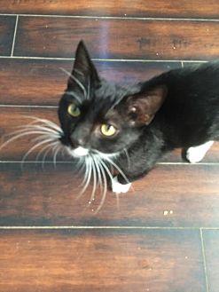 Domestic Mediumhair Kitten for adoption in Los Angeles, California - Federico