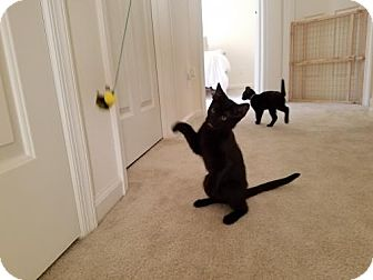 Domestic Shorthair Kitten for adoption in Hampton, Virginia - Edith