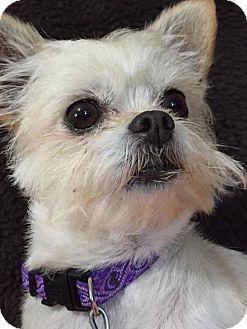 Maltese Dog for adoption in Great Bend, Kansas - Daisy Mae