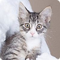 Domestic Mediumhair Cat for adoption in Pt. Richmond, California - MICKEY
