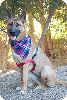 German Shepherd Dog/Labrador Retriever Mix Puppy for adoption in Woodland Hills, California - BECCA