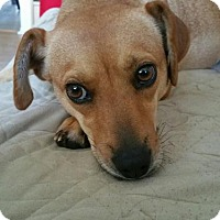 Beagle/Bloodhound Mix Dog for adoption in Jackson, New Jersey - BLONDIE