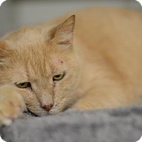 Adopt A Pet :: Gangster  11447 - Atlanta, GA