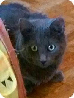 Domestic Mediumhair Cat for adoption in Irwin, Pennsylvania - Angel
