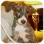 Photo 1 - Italian Greyhound Mix Puppy for adoption in Manalapan, New Jersey - Savannah