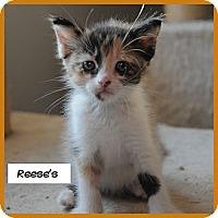 Adopt A Pet :: Reese's - Miami, FL