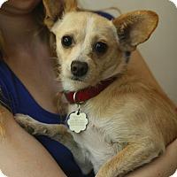 Adopt A Pet :: ScoobyDoo - Santa Monica, CA