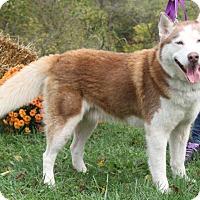 Adopt A Pet :: Scotch - Zanesville, OH