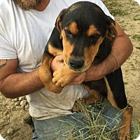 Adopt A Pet :: Black/Tan Twin Boys - Quinlan, TX