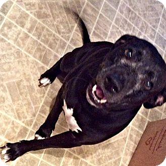 Labrador Retriever Mix Dog for adoption in Sidney, Maine - Star