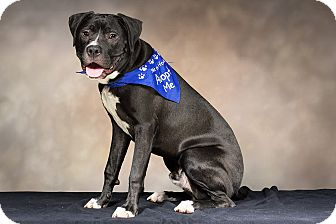 American Staffordshire Terrier Mix Puppy for adoption in Livonia, Michigan - Sneezy