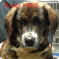 Adopt A Pet :: Rosey - baltimore, MD