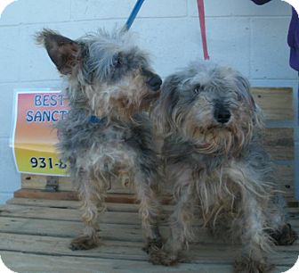 Yorkie, Yorkshire Terrier Mix Dog for adoption in Jamestown, Tennessee - Raggedy Ann